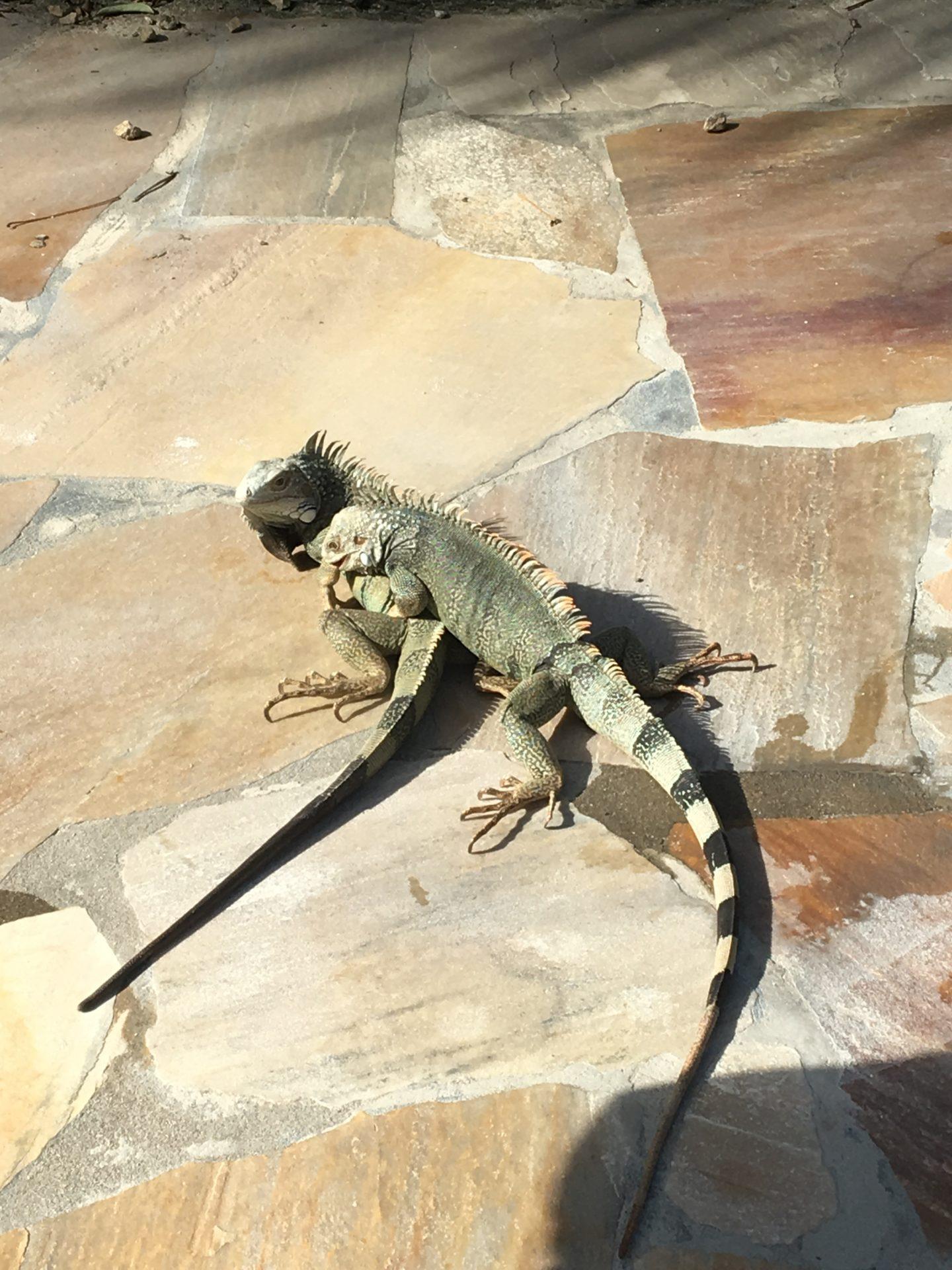 Iguanas-Aruba-Travel